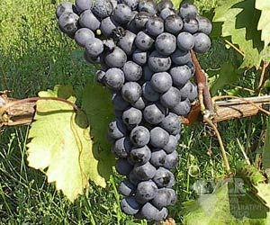 agiorgitiko grapes